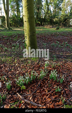 Perce-neige dans un bois à la fin de l'hiver au Royaume-Uni (Galanthus nivalis), Banque D'Images