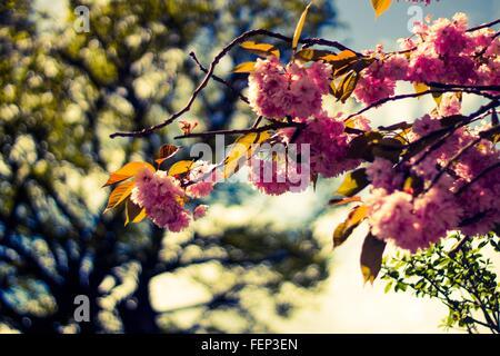 Plan de cerisiers en fleurs au printemps Banque D'Images