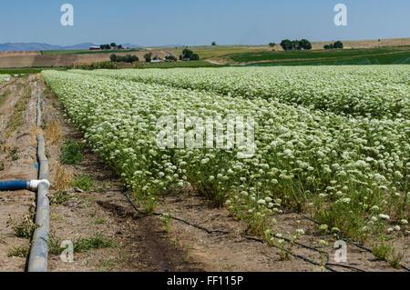 Domaine des plantes cultivées à la carotte récolter les graines pour la production future. L'Est de l'Oregon Banque D'Images