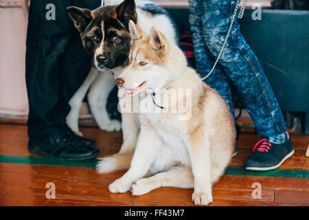 Les jeunes heureux chiot Husky Eskimo Dog et Akita américain assis ensemble sur plancher en bois