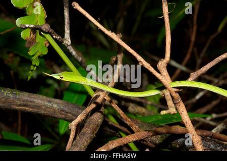 Arbre généalogique bec long serpent, serpent de vigne verte, Whip bec long serpent ou serpent de vigne asiatique (Ahaetulla nasuta) la réserve forestière de Sinharaja, Banque D'Images