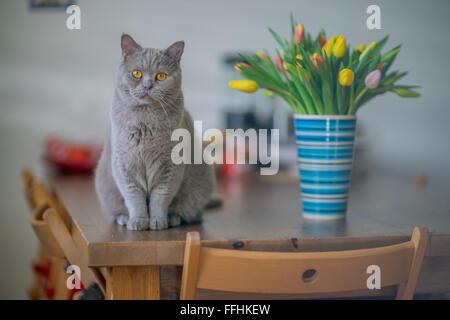 British shorthair lilas tomcat chat assis sur la table à l'affaire bouteille avec bouquet de tulipes au printemps fixant le regard multicolore
