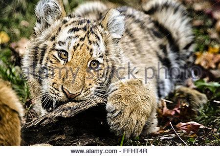 Cinq mois ou d'Amur Siberian Tiger Cub, Panthera tigris altaica, bouche ouverte, mordre, zoo du Bronx, New York Banque D'Images