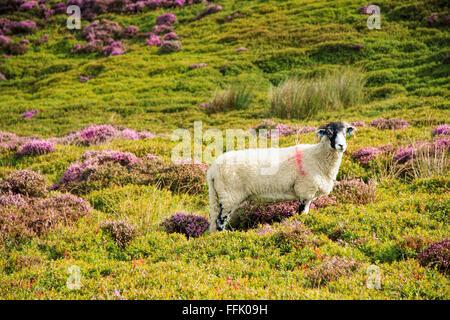 Moutons Brebis Swaledale dans terre de bruyère en fleurs, creux de Bowland, Lancashire, Angleterre, Grande-Bretagne, Banque D'Images