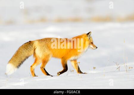 American Red Fox (Vulpes vulpes fulva) adulte, la chasse sur les proies dans la neige, parc national de Yellowstone, Banque D'Images