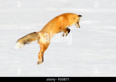 American Red Fox (Vulpes vulpes fulva) adulte, chasse, de sauter sur les proies dans la neige, parc national de Banque D'Images
