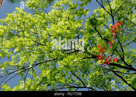 Temps de printemps avec des feuilles vertes sur les branches d'arbre sur fond de ciel bleu et nuages blancs , , Banque D'Images