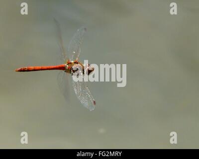 Portrait of Red Dragonfly survolant Lake