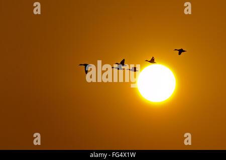Un troupeau d'oies cendrées battant en face de l'établissement soleil d'hiver au parc national de Keoladeo, Bharatpur, Banque D'Images