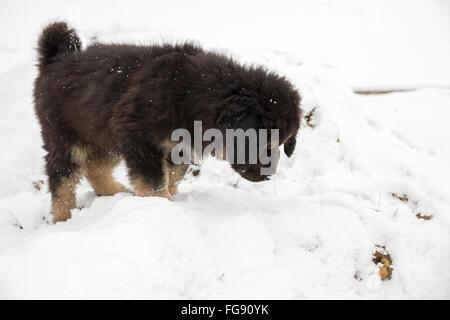 Chiot Mastiff tibétain est en vedette dans la neige