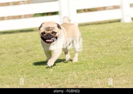 Un petit, jeune, belle, fauve avec un Pug ridée courte face au silence d'exécution sur la pelouse à la fois ludique Banque D'Images