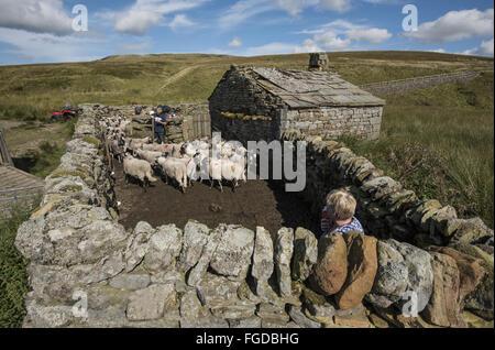 L'élevage de moutons, Swaledale troupeau en bergerie de pierres sèches sur hill farm, Beck, réunions, Keld, Swaledale, Banque D'Images
