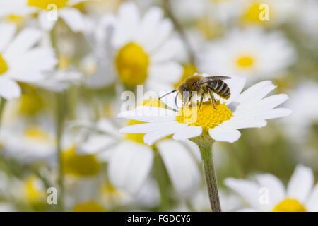 Sella-nu Plâtrier Bee (Colletes similis) mâle adulte, se nourrissant de Stinking Camomille (Anthemis cotula) fleurs, Banque D'Images