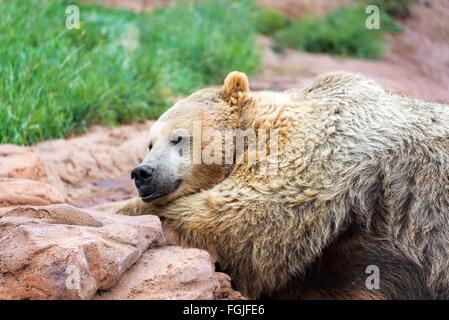 Vue rapprochée d'un grizzly couché Banque D'Images