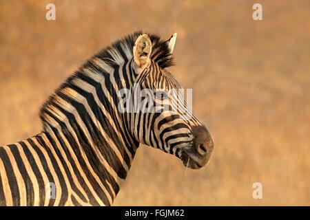 Portrait d'une plaine (Burchell) Zèbre (Equus burchelli), Afrique du Sud Banque D'Images