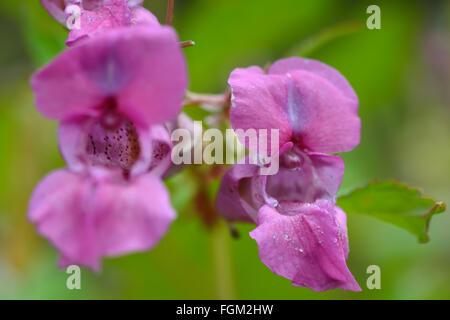 L'Impatiens glandulifera balsam (Indien). Suppression des fleurs roses sur cette plante en famille Balsaminaceae