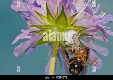 Houghton, Misumena vatia araignée crabe, avec des proies capturées sur le dessous d'un champ de fleurs scabious, Banque D'Images