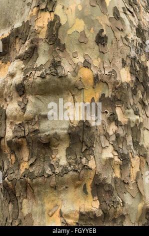 De près de l'écorce d'un avion à destination de Londres (Platanus x acerifolia) tronc d'arbre Banque D'Images
