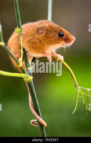 La souris en captivité, perché sur une tige de mauvaises herbes avec sa queue enroulée autour de la tige de la plante Banque D'Images