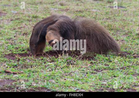 Fourmilier géant (Myrmecophaga tridactyla) et d'alimentation alimentation en termitière, Mato Grosso, Brésil Banque D'Images