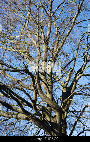 Fagus sylvatica en hiver. Soleil d'hiver sur les branches d'un hêtre. Banque D'Images