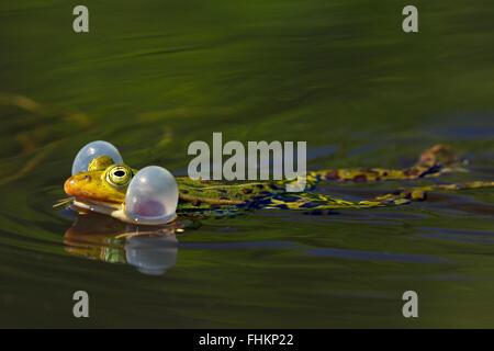 Grenouille comestible / grenouille verte (Pelophylax kl. esculentus / Rana kl. esculenta) masculin flottant dans Banque D'Images