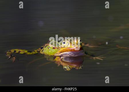 Grenouille comestible / eau commun grenouille / grenouille verte (Pelophylax kl. esculentus / Rana kl. esculenta) Banque D'Images