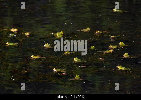 Les grenouilles comestibles / grenouille verte (Pelophylax kl. esculentus / Rana kl. esculenta) groupe flottant Banque D'Images