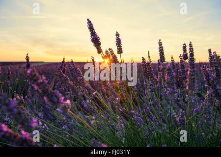 Fleurs de champ de lavande (Lavandula angustifolia), Plateau de Valensole, près de Valensole, Provence-Alpes-Côte Banque D'Images