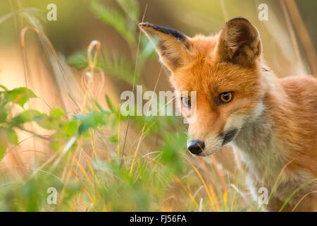 Le renard roux (Vulpes vulpes), sur l'herbe haute, portrait, Allemagne, Brandebourg Banque D'Images