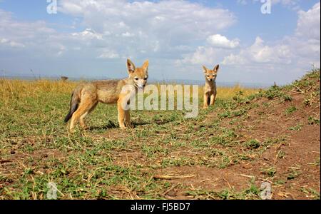 Le chacal à dos noir (Canis mesomelas), les louveteaux à Savannah, Kenya, Masai Mara National Park Banque D'Images