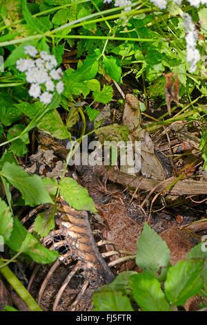 Mouflon (Ovis musimon, Ovis gmelini musimon, Ovis orientalis musimon), cadavre d'un mouflon, Germany Banque D'Images