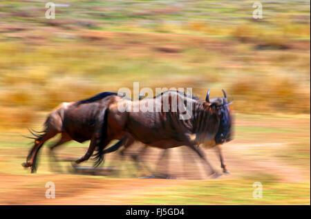 Le Gnou (Connochaetes taurinus barbu albojubatus), l'exécution de troupeau, Kenya, Masai Mara National Park Banque D'Images