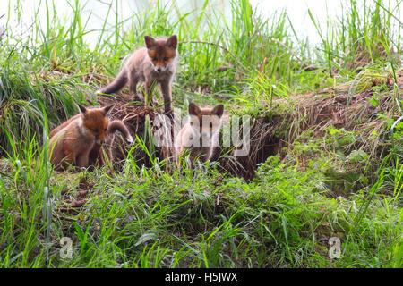 Le renard roux (Vulpes vulpes), met bas en face de la den, Allemagne Banque D'Images