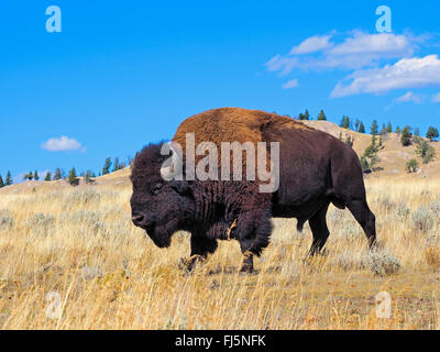 American bison, Bison (Bison bison), homme buffalo, USA, Wyoming, Yellowstone National Park, Lamar Valley