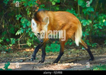 Le loup à crinière (Chrysocyon brachyurus), de patte sur le terrain Banque D'Images
