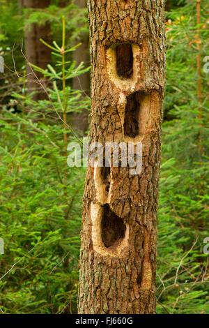 Pics dans un tronc d'arbre, Allemagne, Rhénanie du Nord-Westphalie Banque D'Images