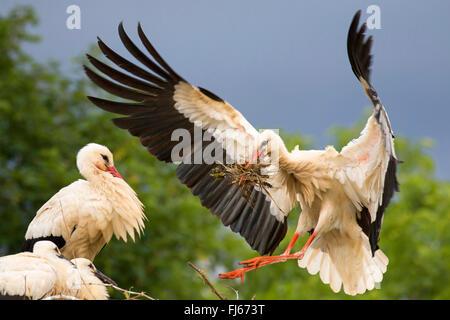 Cigogne Blanche (Ciconia ciconia), l'atterrissage sur le nid avec les jeunes oiseaux avec matériel de nidification Banque D'Images