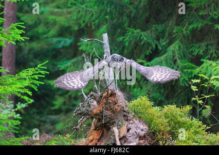 La Chouette lapone (Strix nebulosa), en vol et en forêt, Allemagne Banque D'Images