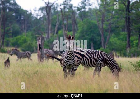 Le zèbre de Burchell, zèbre (Equus zebra commun, quagga burchelli, Equus burchelli), Troupeau de zèbres pâturage Banque D'Images