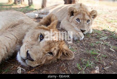 Lion (Panthera leo), deux lionceaux couché dans l'ombre sur le terrain, Afrique du Sud