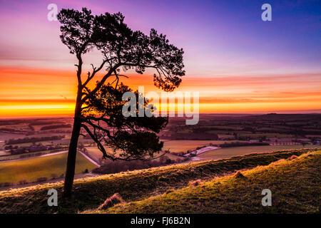 Un seul le pin sylvestre (Pinus sylvestris) contre un ciel lever du soleil d'hiver. Banque D'Images