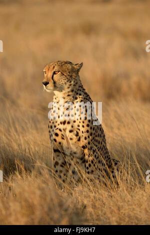 Le Guépard (Acinonyx jubatus) des profils s'assit dans l'herbe sèche, à la recherche de proies, Lewa Wildlife Conservancy, Banque D'Images
