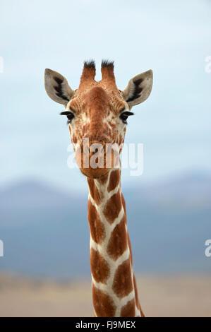 Giraffe réticulée (Giraffa camelopardalis reticulata) gros plan de la tête et du cou, Shaba National Reserve, Kenya, octobre