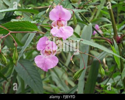 Fleurs et graines explosives de la mauvaise herbe envahissante, le baumier himalayen, Impatiens glandulifera, poussant dans un marais avec un fond de feuilles.