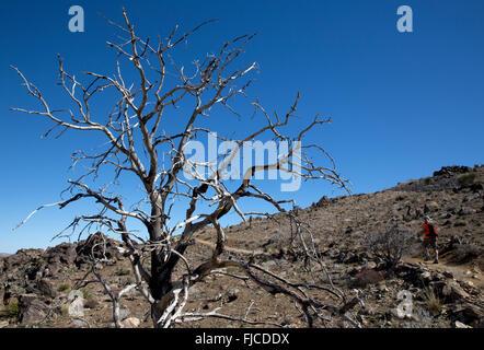 Homme randonnée sur le sentier de la mine cheval perdu, Joshua Tree National Park California USA Banque D'Images