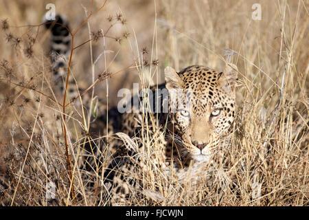 Un léopard chasse dans la brousse Banque D'Images