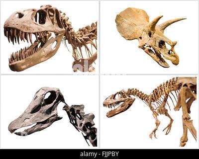 Jeu de dinosaures squelette T-Rex, Diplodocus, Triceratops, isolé sur blanc l'arrière-plan. Banque D'Images