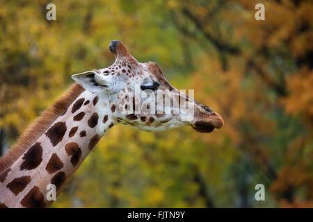 Girafe, un portrait à l'état sauvage Banque D'Images
