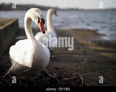 Sur le Lac des cygnes Contre Jour ensoleillé Banque D'Images